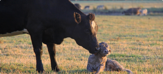 Cow and calf in paddock