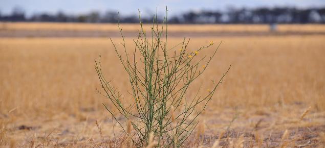 Skeleton weed plant