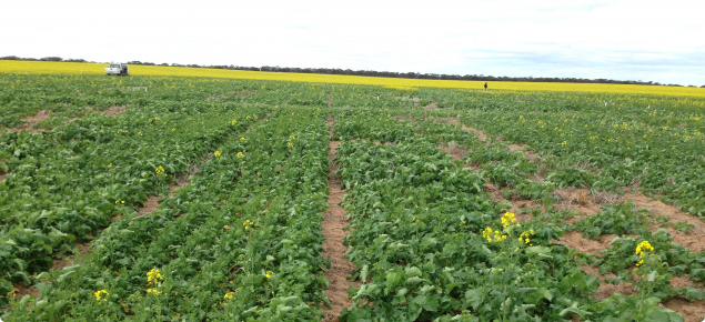 Salmon gums plant density trial, 2014
