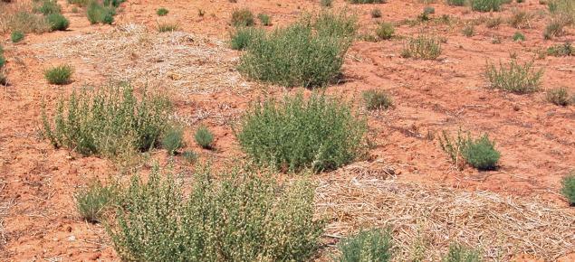 Salsola (prickly saltwort, rolypoly)