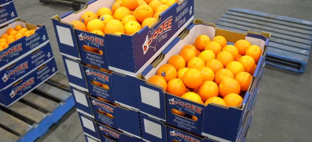 Packed Washington navel oranges (Houghton selection) July 2017