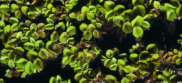 Salvinia is a free-floating aquatic weed