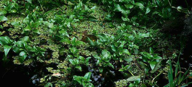 Senegal tea growing in a pond