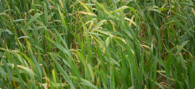 Wheat streak mosaic virus infected wheat crop