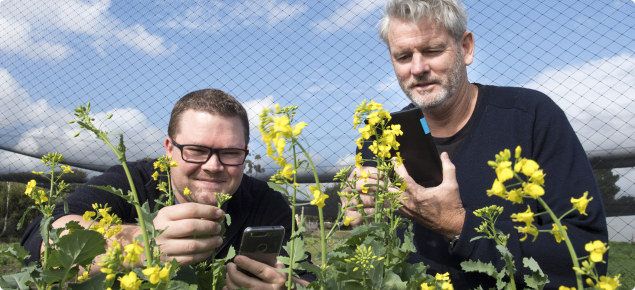 Photo of two people with some flowing canola using CropScout on thier mobile phones