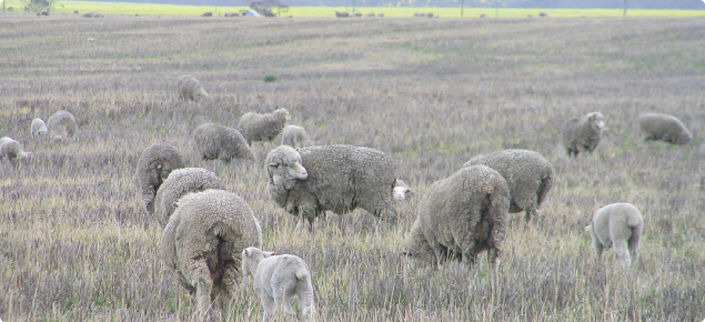 Typical flock of ewes and lambs with symptoms of body lice