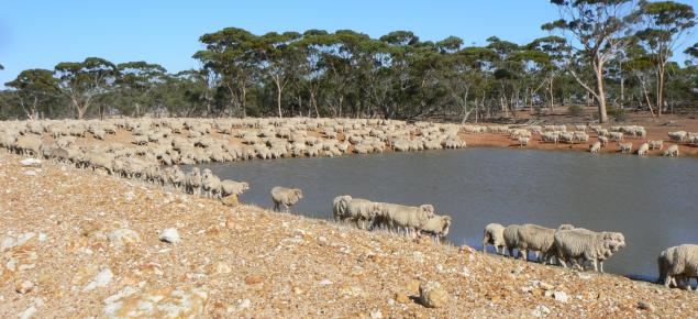 Sheep drinking at a dam