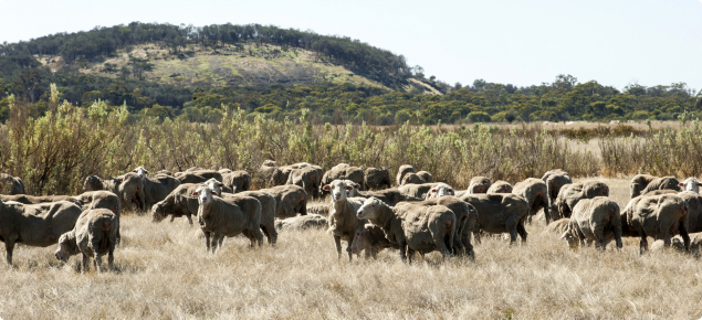 Photograph of sheep grazing saltbush and salt tolerant grasses