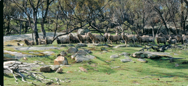 Photograph of sheep grazing under degraded remnant vegetation