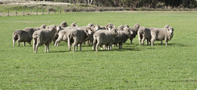 Sheep standing in the middle of a paddock.