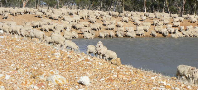 Sheep drinking at a dam