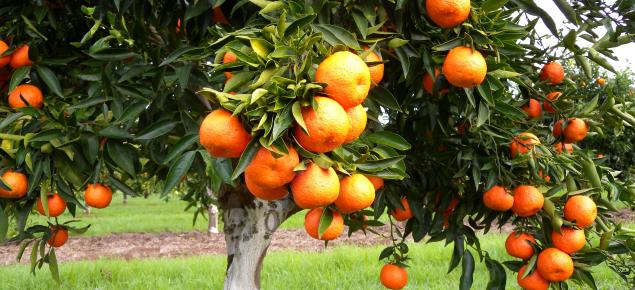 Fruit of Sidi Aissa clementine variety hanging on tree - June 2011
