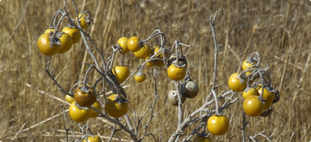 Silverleaf Nightshade Declared Pest Agriculture And Food