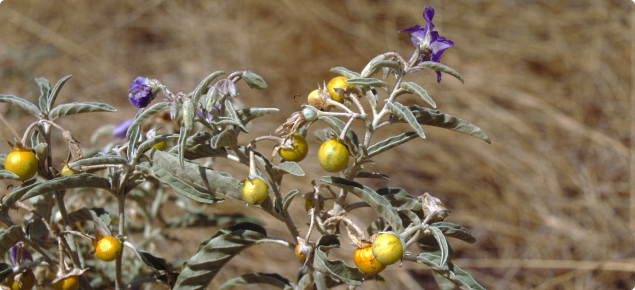 Silver Leaf Nightshade