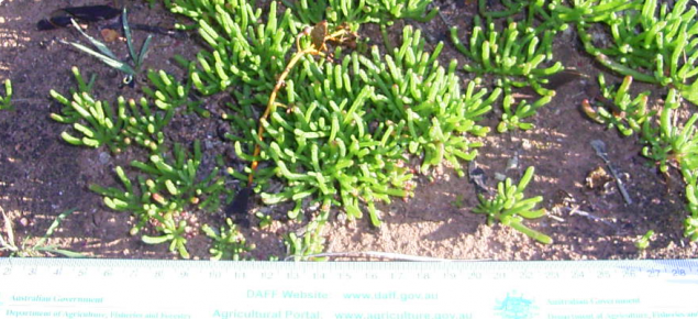 Green iceplant in winter