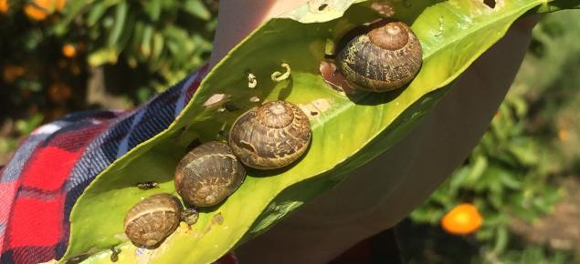 Brown garden snails on a citrus leaf