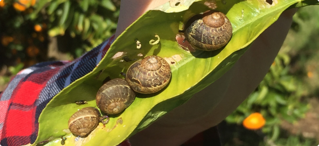 Brown garden snails on a citrus leaf
