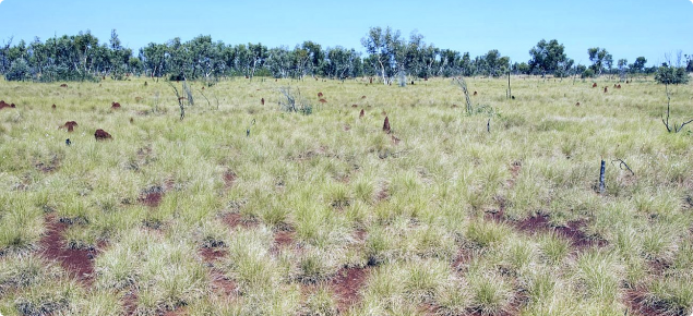 Photograph of soft spinifex (Triodia pungens) pasture in good condition in the east Kimberley