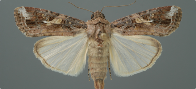 Diagnostic image of a male fall armyworm moth - Photograph by Lyle Buss, University of Florida