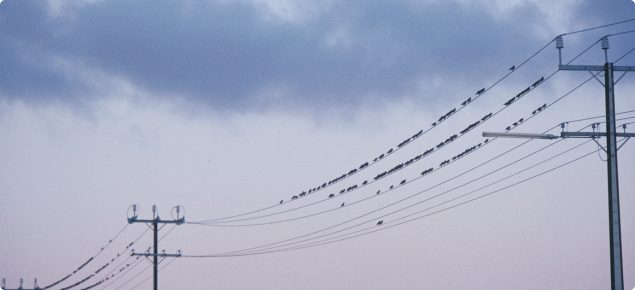 Flock of starlings sitting on a power line.