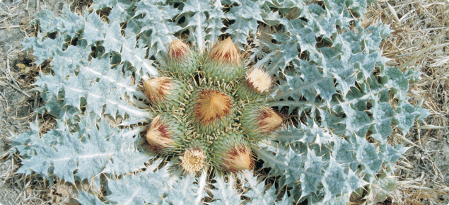 Close up view of stemless thistle, showing the distinctive rosette of leaves surrounding the numerous flower heads