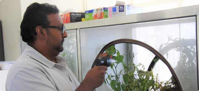 A researcher extracting psyllid from a tomato plant