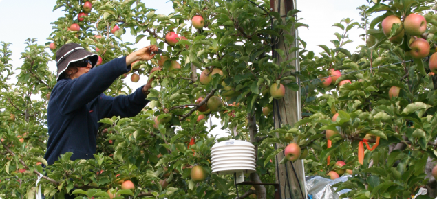 Tagging and measuring Cripps Pink apples