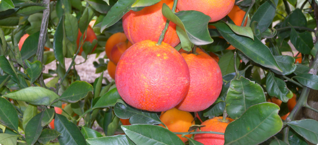 Tarocco Ippolito blood orange in orchard at Bindoon