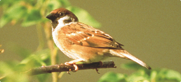 Tree sparrow (both sexes look the same).