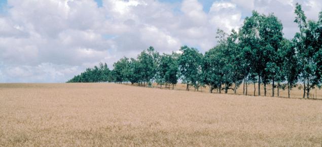 Photograph of a eucalypt windbreak near Geraldton protecting a crop paddock
