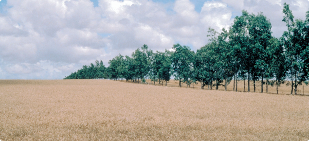 Photograph of a eucalypt windbreak near Geraldton protecting a crop paddock