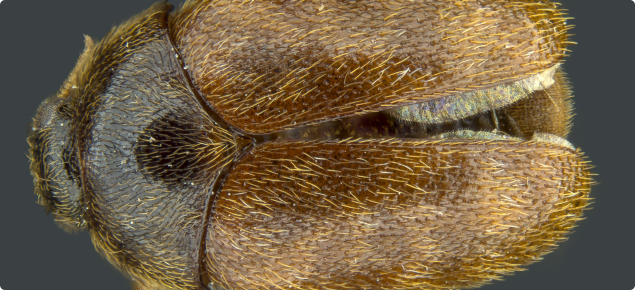 An adult Khapra beetle.