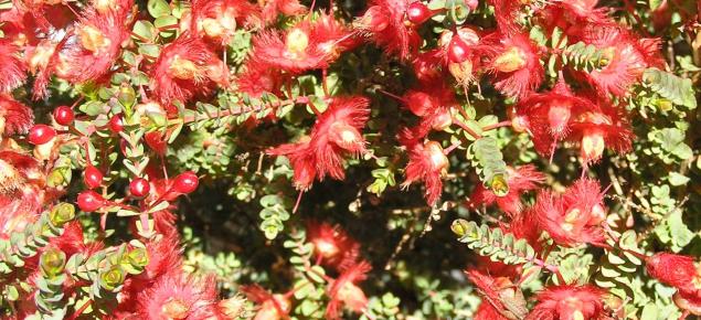 flowers of Verticordia etheliana