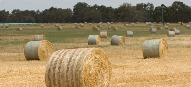 Round hay bales in a paddock ready for collections