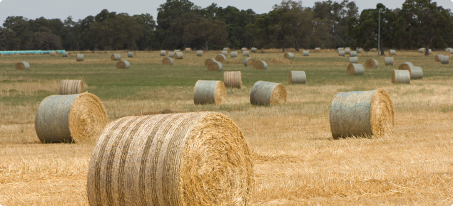 Large round bales of hay scattered through a paddock ready for collection