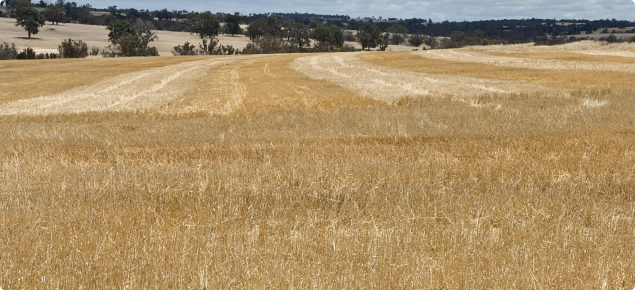 Cereal stubble left standing in the paddock