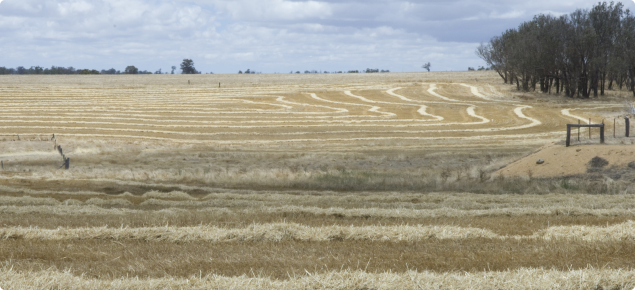 Rows of windrowed hay in paddocks ready for baling