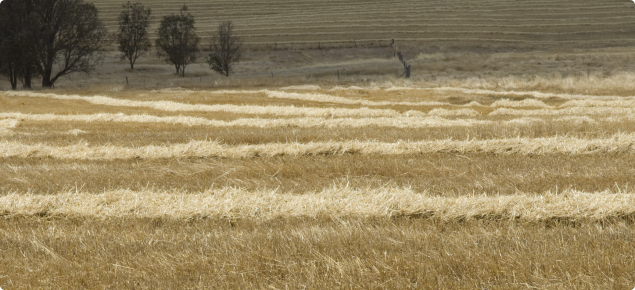 A brown paddock with strips of winrowed hay drying ready to be baled