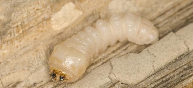 EHB Larvae
