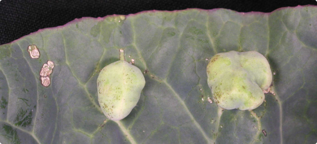 Small raised white blister galls on upper surface of cauliflower leaf