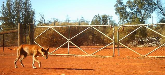 Wild dog in WA rangelands