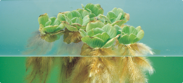 Water lettuce is a free-floating aquatic weed
