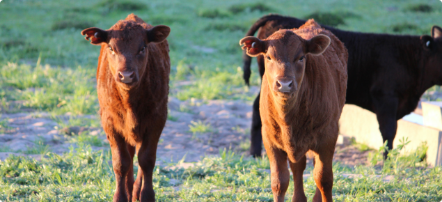 Cattle persistently infected with BVDV may look normal.
