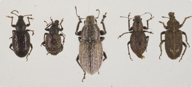 Identifying soil beetle pests | Agriculture and Food