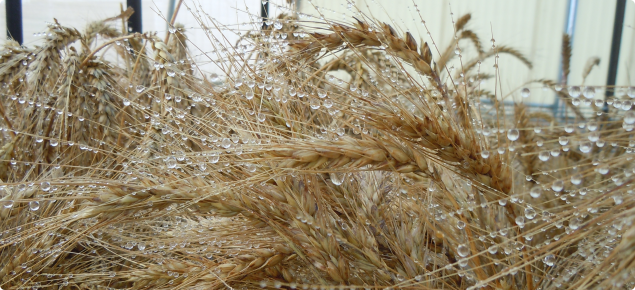 A picture of wet wheat