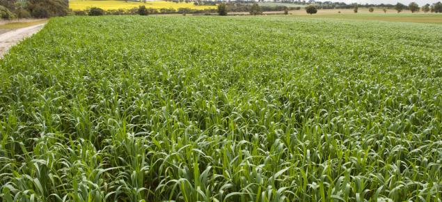 Wheat crop near Toodyay