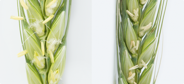 Healthy anthers during flowering (left), frosted anthers (right)