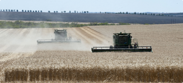 Mature wheat being harvested