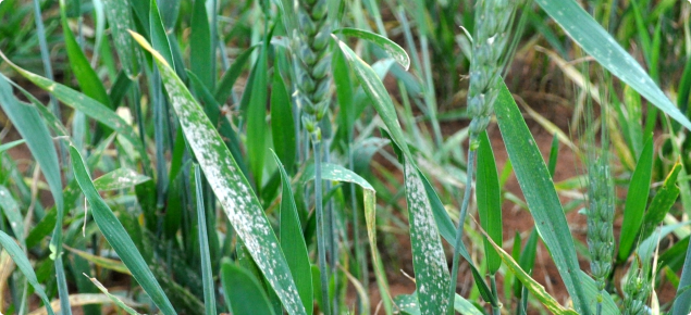 Powdery mildew on wheat leaves