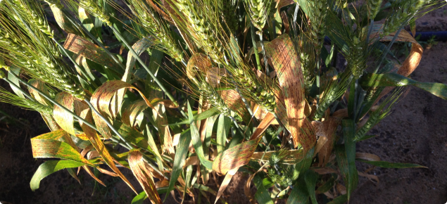 Wheat susceptible to SNB on flag leaf